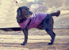 画像5: 【 California Vintage 】犬服 タンクトップ Malibu  (5)