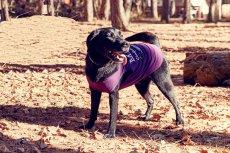 画像14: 【 California Vintage 】犬服 タンクトップ Malibu  (14)