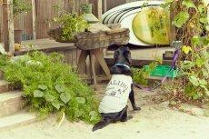 画像8: 【 California Vintage 】犬服 タンクトップ Malibu  (8)